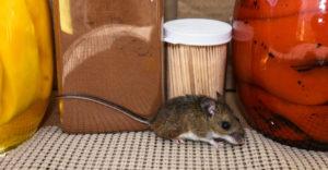 Kammerjäger Mäuse