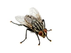 Schädlingsbekämpfung Fliegen